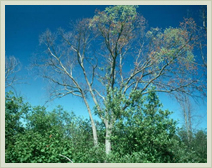 Approved Tree Care - Services - Dutch Elm Disease